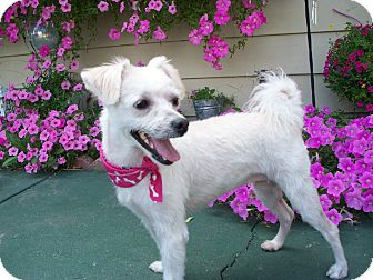 Yorkie, Yorkshire Terrier Mix Dog for adoption in Fremont, California - Mitzi