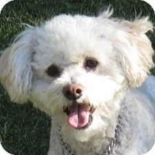Bichon Frise Mix Dog for adoption in La Costa, California - Louie