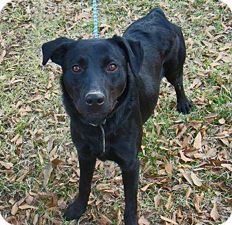 Labrador Retriever Mix Puppy for adoption in Groton, Massachusetts - Scout
