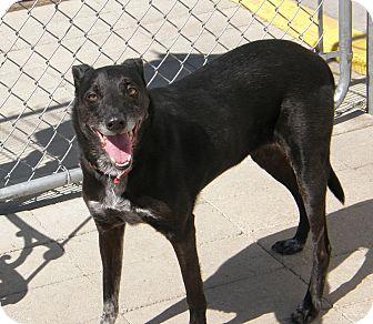 Labrador Retriever Mix Dog for adoption in Meridian, Idaho - Tac