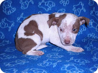 "Pit Bull Terrier Mix Puppy for adoption in New Castle, Pennsylvania - "" Cuddles """