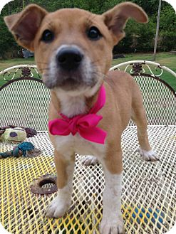 Labrador Retriever Mix Puppy for adoption in East Hartford, Connecticut - Martha meet me 6/28