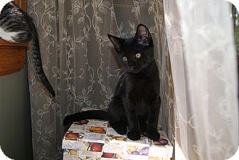 Domestic Shorthair Kitten for adoption in Trevose, Pennsylvania - Storm
