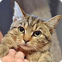 Adopt A Pet :: Honey - Centreville, VA
