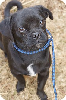 Pug/Chihuahua Mix Puppy for adoption in Newark, Delaware - Marky Mark