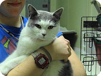 Domestic Shorthair Cat for adoption in Marble, North Carolina - Princess