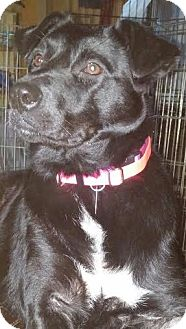 Labrador Retriever/Smooth Fox Terrier Mix Dog for adoption in Chattanooga, Tennessee - Izzaboo(Izzy)