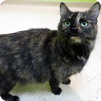 Domestic Longhair Cat for adoption in Janesville, Wisconsin - Bonnie