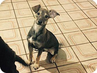 Italian Greyhound Mix Puppy for adoption in San Diego, California - penguin