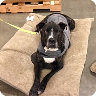 Cane Corso Mix Dog for adoption in Bellingham, Washington - Spartacus