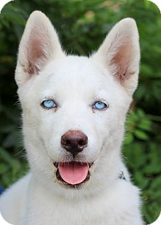 Husky/Siberian Husky Mix Puppy for adoption in College Station, Texas - Xena