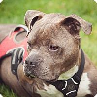 Adopt A Pet :: Hammy (foster) - Portland, OR