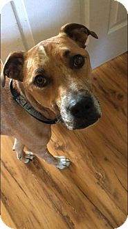 Boxer/Rhodesian Ridgeback Mix Dog for adoption in Florence, Kentucky - Hallie