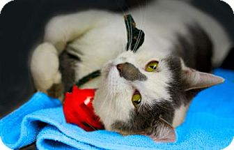 Domestic Shorthair Cat for adoption in Voorhees, New Jersey - Prince