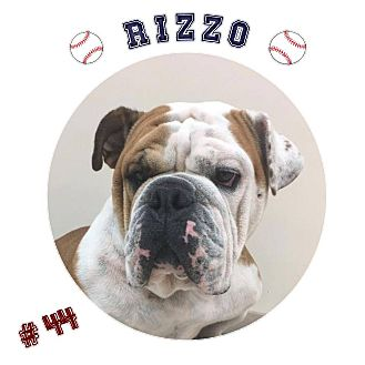 English Bulldog Dog for adoption in Park Ridge, Illinois - Rizzo