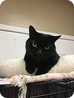 Domestic Shorthair Cat for adoption in Acushnet, Massachusetts - Buddy