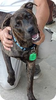 Boxer/Labrador Retriever Mix Dog for adoption in San Diego, California - Nicholas