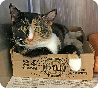 Calico Cat for adoption in East Brunswick, New Jersey - Sissy