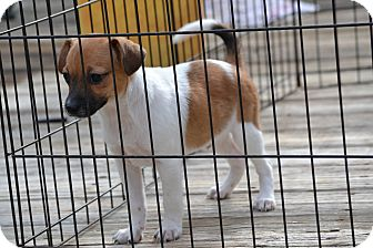 Beagle/Jack Russell Terrier Mix Puppy for adoption in Pikeville, Maryland - Rascal