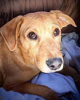 Labrador Retriever Mix Dog for adoption in Enfield, Connecticut - Barney