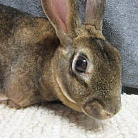 Mini Rex Mix for adoption in Newport, Delaware - Zena