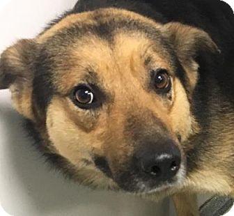 German Shepherd Dog/Shepherd (Unknown Type) Mix Dog for adoption in Lincolnton, North Carolina - Chandler