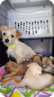 Adopt A Pet :: Honey  - Renton, WA