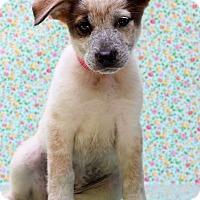 Adopt A Pet :: Belinda - Waldorf, MD