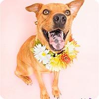 Adopt A Pet :: Chikis - Phoenix, AZ