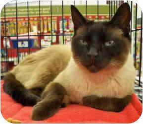 Siamese Cat for adoption in Sacramento, California - Max