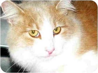 Domestic Mediumhair Cat for adoption in San Clemente, California - CALVIN