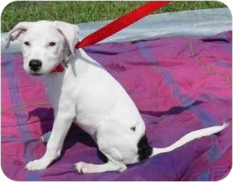 Dalmatian Mix Puppy for adoption in Milwaukee, Wisconsin - Jewel