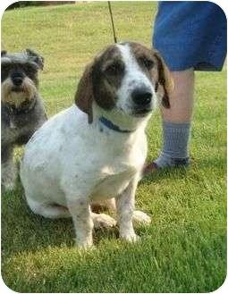 Beagle/Basset Hound Mix Dog for adoption in Portland, Maine - Mr. Beagle Bassett
