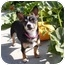 Photo 1 - Terrier (Unknown Type, Small)/Chihuahua Mix Dog for adoption in Castro Valley, California - Maple