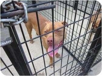 Pit Bull Terrier Dog for adoption in Emporium, Pennsylvania - Kip