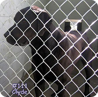 Labrador Retriever/Rottweiler Mix Dog for adoption in Floyd, Virginia - URGENT - At Pound #111 - Clyde