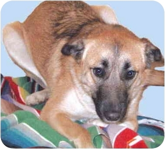 Shepherd (Unknown Type)/Collie Mix Puppy for adoption in Grass Valley, California - Shelby