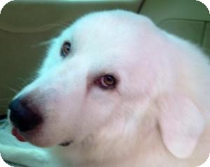 Great Pyrenees Dog for adoption in Mary Esther, Florida - Arthur