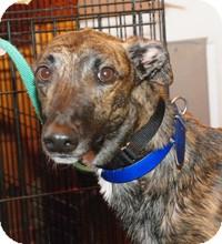 Greyhound Dog for adoption in Ware, Massachusetts - Cody