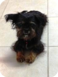 Shih Tzu/Yorkie, Yorkshire Terrier Mix Dog for adoption in Irmo, South Carolina - Alex