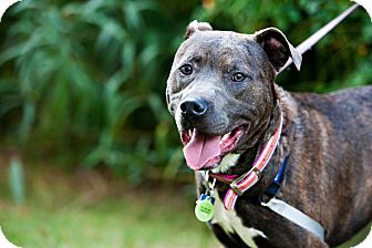 American Pit Bull Terrier/Terrier (Unknown Type, Medium) Mix Dog for adoption in Houston, Texas - Harry Potter