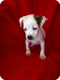 Boston Terrier/Jack Russell Terrier Mix Puppy for adoption in Lancaster, Kentucky - Boston Terrier/JackRus Male 2