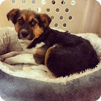 Shepherd (Unknown Type) Mix Puppy for adoption in Barnegat, New Jersey - Addie