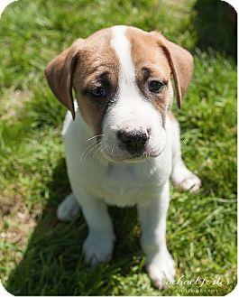 Boxer/Labrador Retriever Mix Puppy for adoption in Alexandria, Virginia - O'Brien