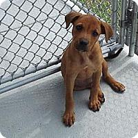 Adopt A Pet :: Courtney - South Jersey, NJ