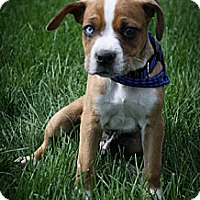 Adopt A Pet :: SnapDragon - Broomfield, CO