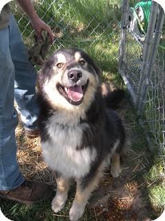 German Shepherd Dog/Husky Mix Dog for adoption in Fort Benton, Montana - Riley