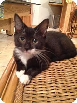 Domestic Shorthair Kitten for adoption in East Hanover, New Jersey - Pepper
