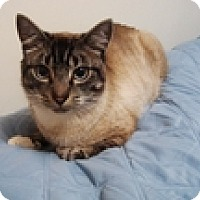 Adopt A Pet :: Siam - Vancouver, BC
