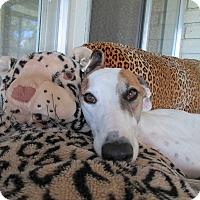 Adopt A Pet :: Yogi - Cottonwood, AZ